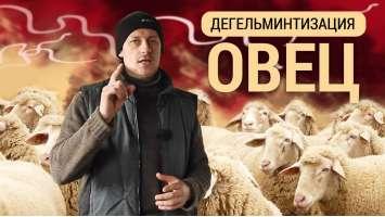 Дегельмінтизація овець