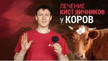 Лікування кіст яєчників у корів