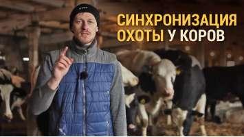 Синхронізація охоти у корів