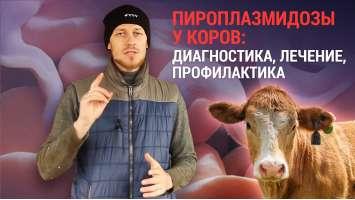 Піроплазмідози у корів: діагностика, лікування, профілактика